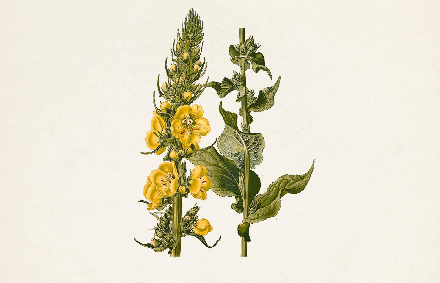 Divizna sápovitá (Verbascum phlomoides)