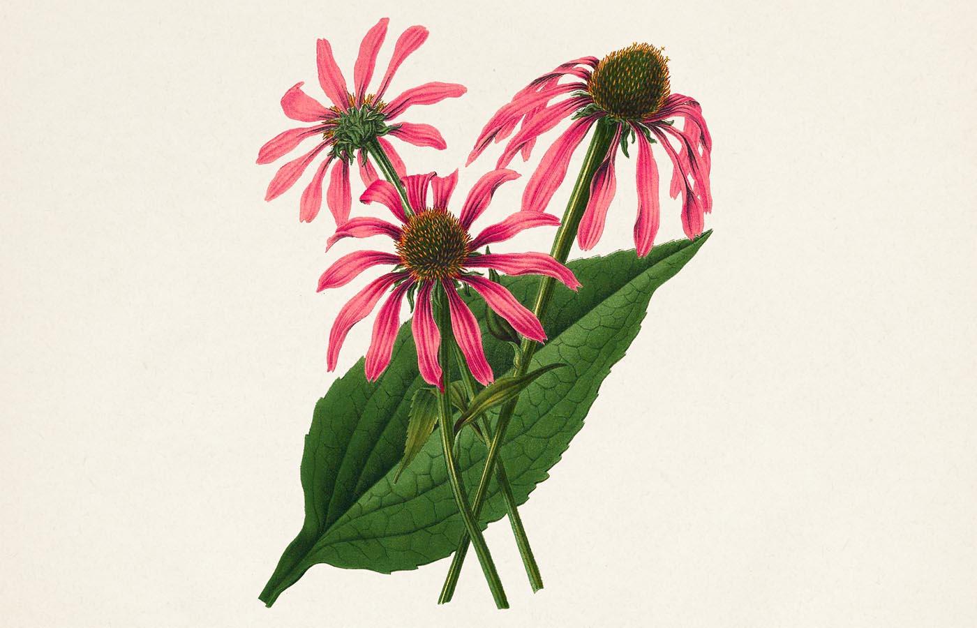 echinacea třapatkovka