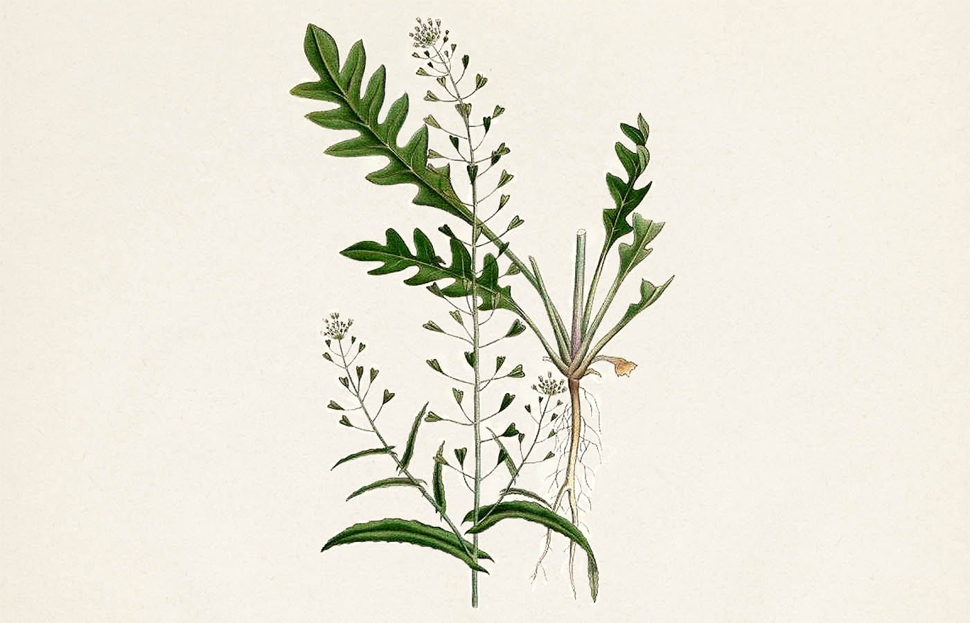 Kokoška pastuší tobolka (Capsella bursapastoris)