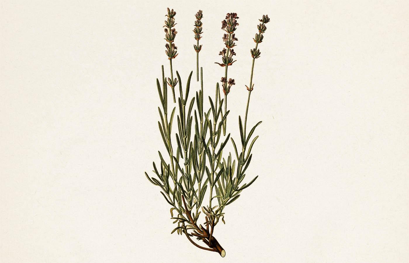 Levandule lékařská (Lavandula officinalis)