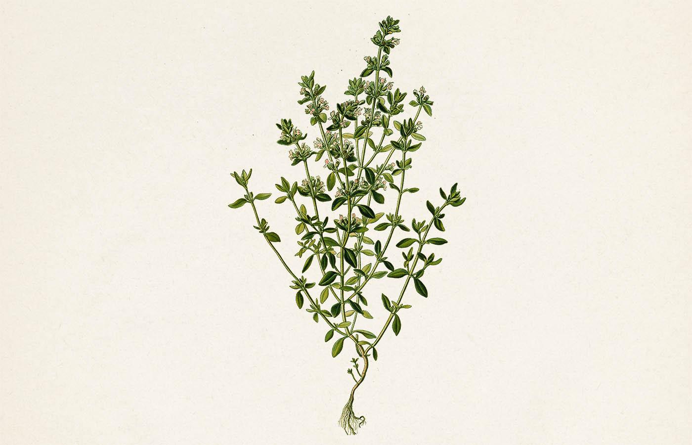Mateřídouška obecná (Thymus vulgaris)