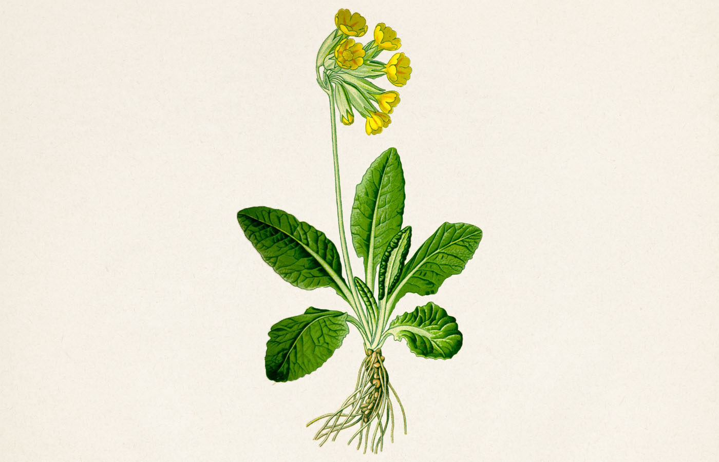 Prvosenka jarní (Primula veris)