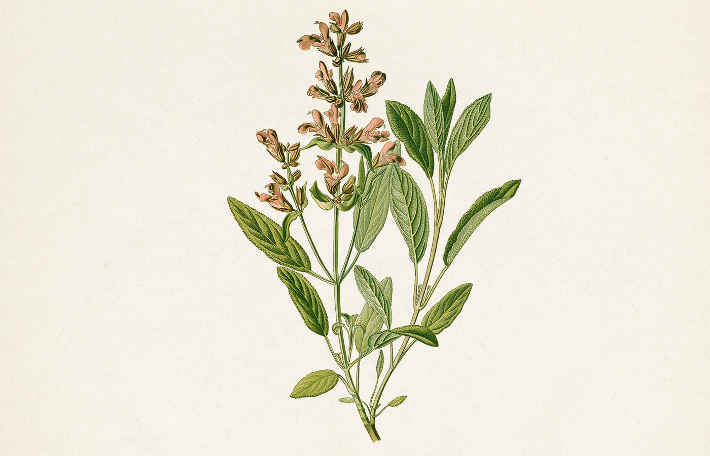 Šalvěj lékařská - Salvia oficinalis