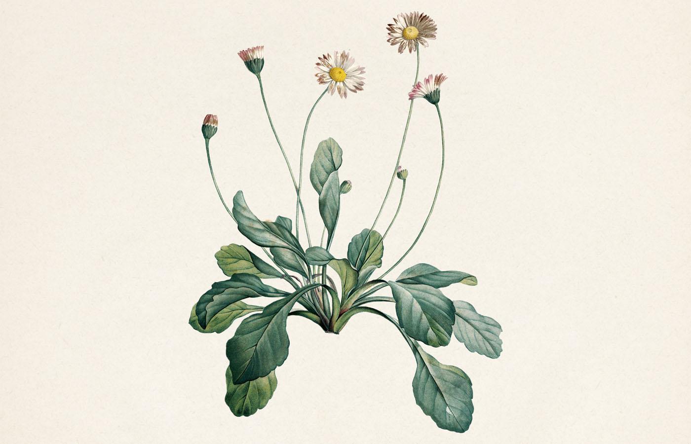 Sedmikráska chudobka (Bellis perennis)